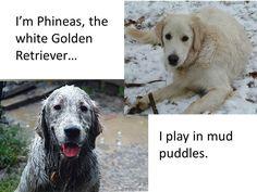 Im Phineas The Golden Retriever