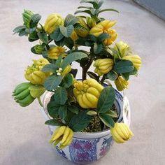 A beautiful bonsai fruit tree. Mini Bonsai, Bonsai Fruit Tree, Bonsai Plants, Fruit Trees, Fruit Fruit, Weird Fruit, Fruit Bearing Trees, Plantas Bonsai, Japanese Tree