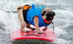 Surfing Pug...don't they all surf?