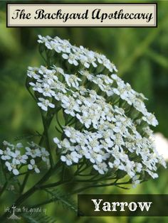 Yarrow is a commonly found backyard plant that is loaded with beneficial properties!