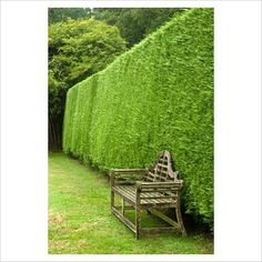 Picture Of A Living Privacy Fence. Leyland Cypress