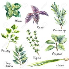 Watercolor collection of fresh herbs isolated: mint, basil, rosemary, parsley, oregano, thyme, bay leaves, green onion. Hand draw illustration. Stock Vector - 45858416