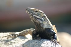 lizard in mexico