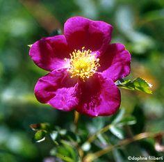 Glória de Edzell--classe: Híbrido spinosissima, Arbusto  reprodução: Inglaterra, por volta de 1900