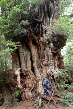 Cedar trees species Western Red has a height of 50-60 m (3 m 6 may be greater for m)
