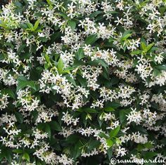 1000 ideas about trachelospermum jasminoides on pinterest jasmine plant evergreen and clematis for Plantes grimpantes
