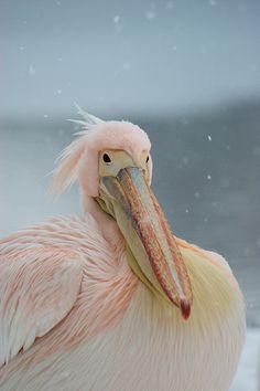 Pink Snow Pelican~so pretty