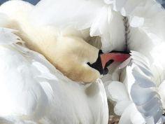 3. Cisne