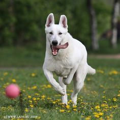 White Swiss Shepherd.