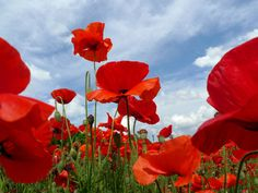 A Field of Red Poppies in Bloom under a Cloud-Filled Sky Photographic Print at AllPosters.com