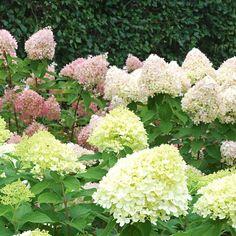 Hydrangea paniculata Little Lime®   White Flower Farm