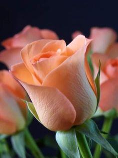 Good Morning Beautiful Flowers, Beautiful Rose Flowers, Beautiful Gif, Exotic Flowers, Amazing Flowers, Beautiful Gardens, My Flower, Flower Power, Rose Rise