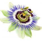 Passion Flower Passiflora (Passifloraceae)