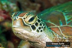 Green Turtle - Caught him looking-up from foraging on some sponge.  This photograph was taken while diving near Dumaguete,  Negros Oriental Is., Philippines and is the featured sea creature for the month of March 2014.  Length: 2 ft