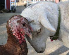 Turkey and Goat