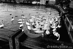 Photo about Beautiful swan coming to some break. Image of bird, beautiful, monochrome - 114767405 Beautiful Swan, All Pictures, Statue, Earn Money, Switzerland, Painting, Image, Things To Sell, Fairy