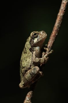 gray tree frog by kenneth gisi
