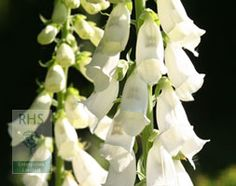Digitalis purpurea 'Alba' - Plants - gardenersworld.com