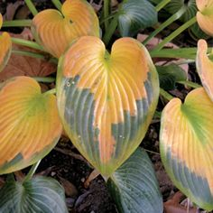 Hosta Heart - Maybe these leaves are why I love hostas