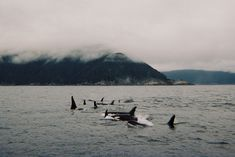 Orcas off the coast of Sitka, Alaska.  The only performance I want to see from an orca is as it glides freely across the surface of the sea.