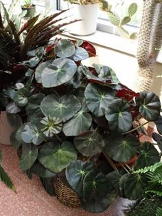 I finally figured out which plant ive been caring for all these years- a Beefsteak Begonia!