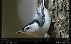 Nuthach.  They are often around chickadees. Lovely birds