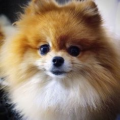 Marvelous Pomeranian Does Your Dog Measure Up and Does It Matter Characteristics. All About Pomeranian Does Your Dog Measure Up and Does It Matter Characteristics. Spitz Pomeranian, Pomeranian Facts, Cute Pomeranian, Pomeranians, Cute Puppies, Cute Dogs, Dogs And Puppies, Doggies, Animals And Pets