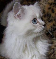 Assorted Fun & Pretty Ragdoll Ragamuffin Kittens- Registered