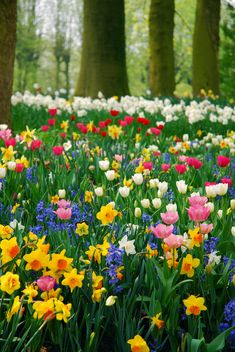 Pretty spring bulbs in flowe.tulips, daffodils and hyacinths.