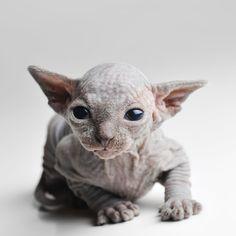 Underdogs of the Animal World: Sphynx Cat