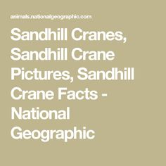 Sandhill Cranes, Sandhill Crane Pictures, Sandhill Crane Facts - National Geographic