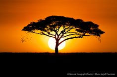 african tree silhouette   flock of birds fly past an acacia tree, as the sun rises over the ...