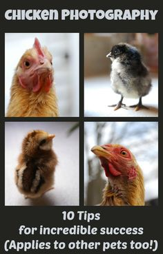 I've had a lot of people ask me how I manage to get such great photos of our chickens. I'm about to reveal all of my secrets so you can do the same! Don't have chickens? That's okay! These 10 photography tips apply to other animals as well!