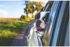 Keeping dogs safe in a car is essential & often the law. Read our guide to selecting a dog car harness or dog seat belt for the road. Boston Terriers, Staffordshire Terrier, Pet Shop Online, Dog Seat, Pet Dogs, Pets, Dog Poster, Pet Travel, Travel Tips