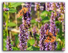 Schmettlinge  #Nature #Macro #Flickr #Foto #Photo #Fotografie #Natur #Makro #Photography #canon6d #Travel #Reisen #德國 #照片 #出差旅行