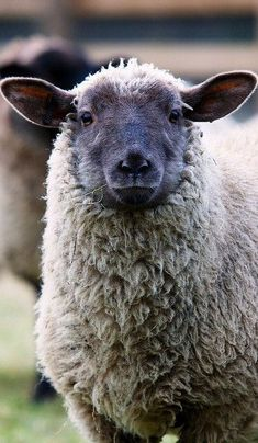 burning-soul: Rosie the lamb (Crush Cul de Sac) Farm Animals, Animals And Pets, Cute Animals, Wooly Bully, Baa Baa Black Sheep, Photo Animaliere, Sheep Art, Sheep And Lamb, Tier Fotos