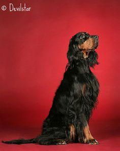 Emmi / Gordon Setter / dogs