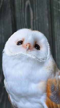 Barn Owl メンフクロウ