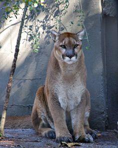 Sitting Florida Panther (by masaiwarrior)