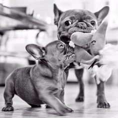 """It's MINE!"" Bossy French Bulldog Puppy."