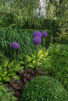Allium 'Ambassador' | Stora, bollformade lila blommor. Blommar juni-juli. Låt blommorna stå kvar i rabatten när blomningen är över så självsår de sig gärna. När fröerna mognat skakar du blomman över den plats du vill nyså. Första året ser blomman bara ut som ett tunt strå med ett svart fröskal högst upp. År två utvecklas en bladrosett och ytterligare några år kommer du få blomning. 120 cm. Shade Garden, Garden Plants, Forest Garden, Back Gardens, Tropical Garden, Gardening For Beginners, Flower Beds, Garden Cottage, Garden Planning