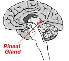 Medical Importance And Clinical Significance Of The Pineal And Thyroid Glands