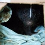 A newly arrived baby skunk rests in its enclosure at NAR.