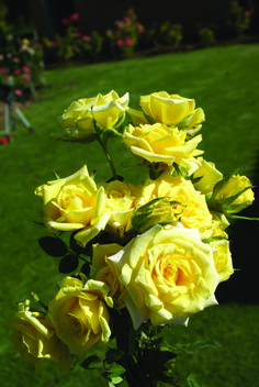 Good Morning America | Ludwigs Roses | Miniature, light yellow, urn shaped buds open to pink & red on the petal tips; few thorns. 20-30cm long stems. Also available as a garden rose. View info.