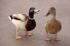 Why Ducks Quack, Dogs Bark, and Cows Moo -- Science of Us