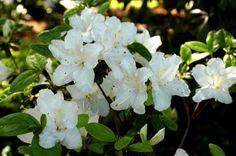 Rhododendron 'Glacier'  evergreen azalea, fast-growing