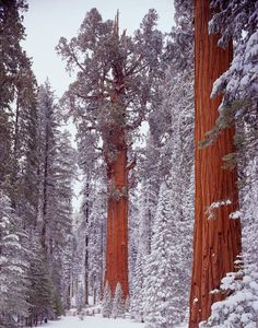 In the heart of California's Sierra Nevada is one of the most awe-inspiring sights: The giant sequoia groves in Sequoia and Kings Canyon National Parks.  These towering trees are some of the world's...