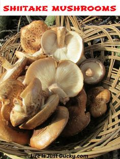 Growing Shiitake Mushrooms - Step by step how to from cutting down the tree to harvesting big basket-fulls of wonderful gourmet mushrooms. Growing Shiitake Mushrooms, Mushroom Grow Kit, Mushroom Spores, Mushroom Cultivation, Big Basket, Organic Protein, Grow Your Own Food, Container Plants, Hydroponics