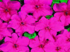 50 Impatiens seeds impatiens sun and shade lipstick #impatienssunandshadelipstick
