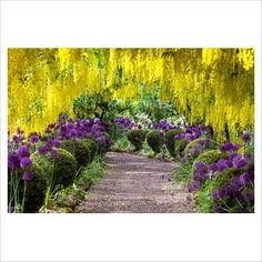 Yellow and purple - Laburnum tunnel underplanted with Alliums and topiary - The Dorothy Clive Garden - GAP Photos - Specialising in horticultural photography